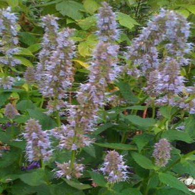 1 Gal. Blue Fortune Giant Hyssop Plant