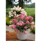 4.5 in. qt. Fire Light Hardy Hydrangea (Paniculata) Live Shrub, White to Pink and Red Flowers