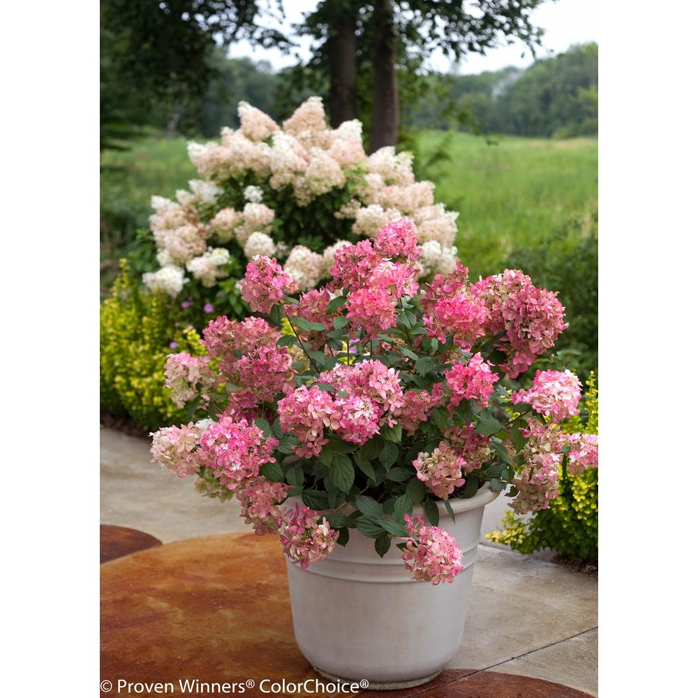 3 Gal. Fire Light Hardy Hydrangea (Paniculata) Live Shrub, White to