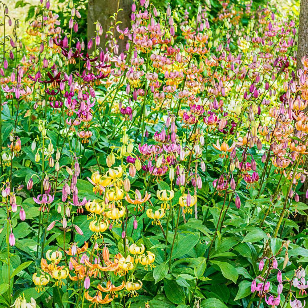 Martagon Lily Bulbs Mixture (5-Pack)