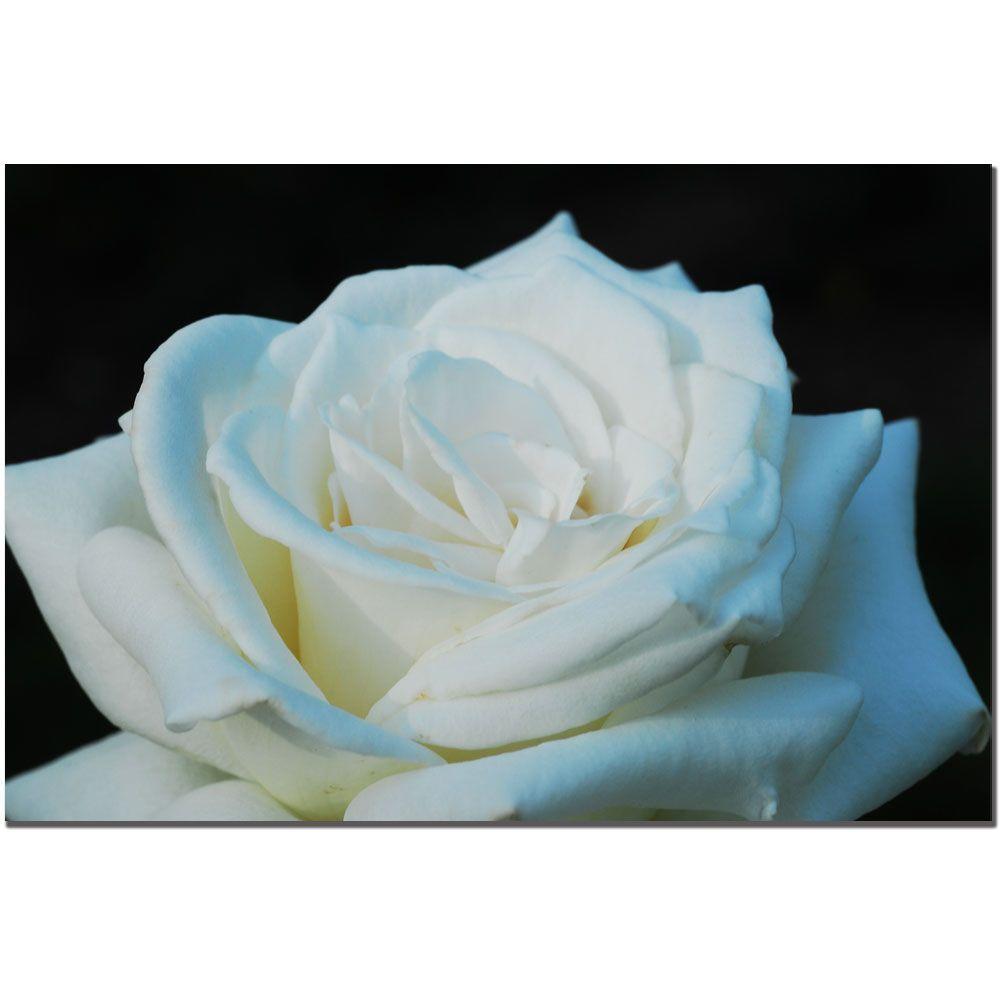 Trademark Fine Art 24 in. x 16 in. White Rose Beauty 2 Canvas Art