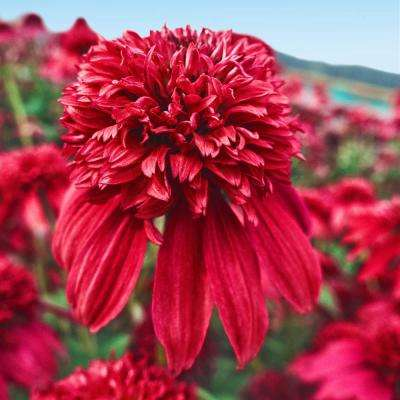 Cranberry Double Coneflower (Echinacea) Live Potted Perennial with 2 in. Pot