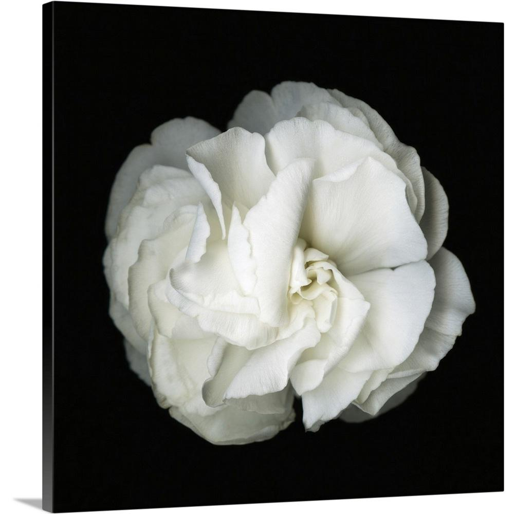 Greatcanvas White Flower Blossom Original Black And Photograph By Susanna Shaposhnikova Canvas Wall Art 2527099 24 36x36 The Home Depot