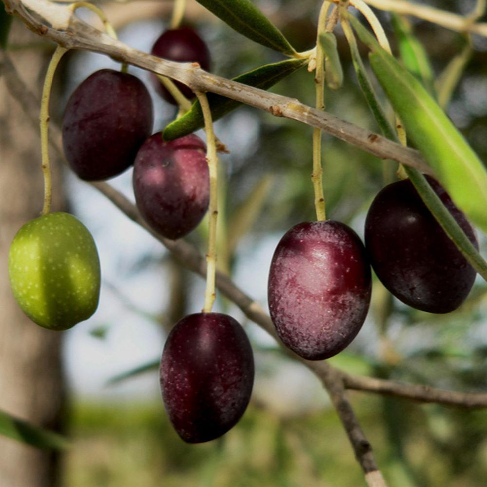 Koroneiki Olive Tree