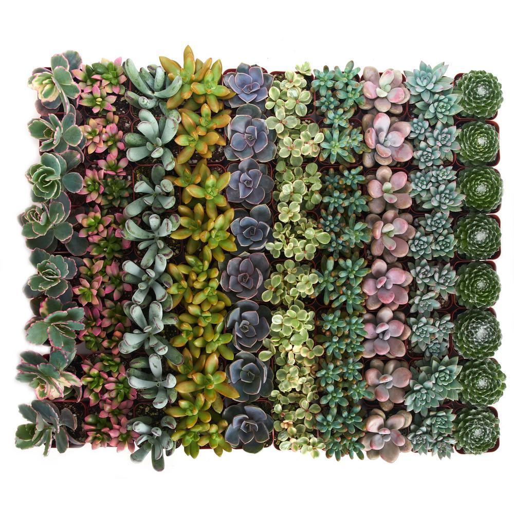 2 in. Premium Pastel Succulent (Collection of 140)