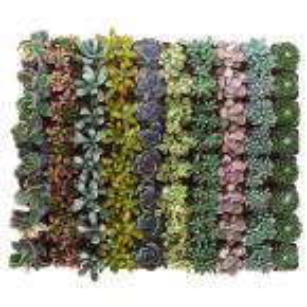 2 in. Premium Pastel Succulent (Collection of 64)