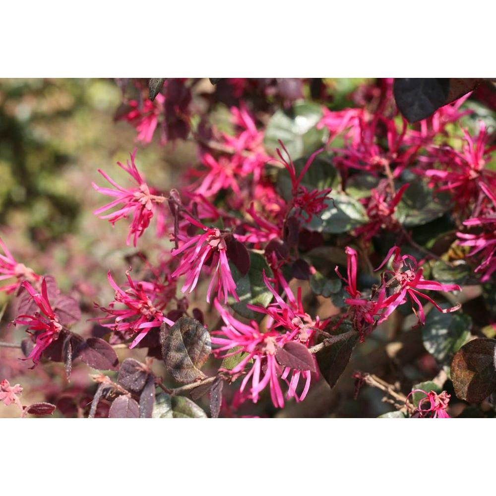 Honeysuckle shrubs trees bushes the home depot jazz hands bold chinese fringe flower loropetalum live shrub pink flowers with mightylinksfo Image collections