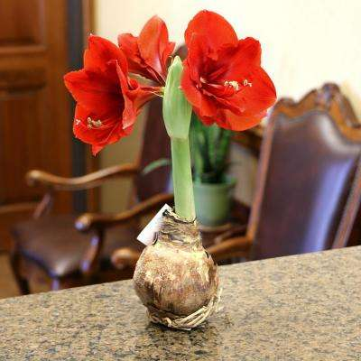 BlooMaker Multi-Colored Blooming Giant Amaryllis Bulbs (4-Pack)