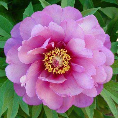 4 in. Pot Yankee Doodle Dandy Itoh Peony Live Perennial Plant