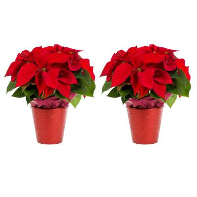 Metrolina Greenhouse Premium Shimmer Series Live Red Poinsettia Plant Duo (2-Pack)