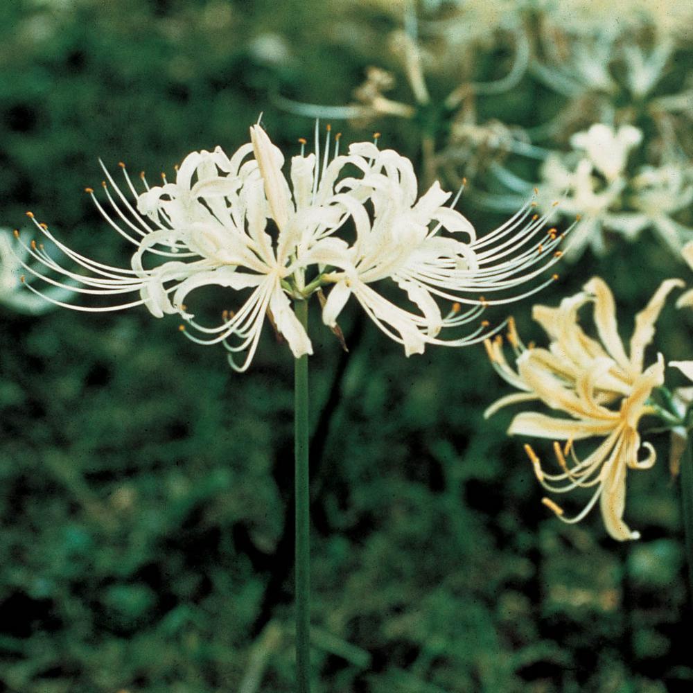 Image result for lycoris albiflora