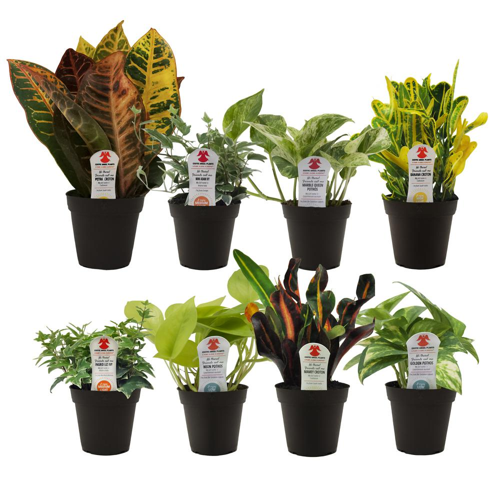 Exotic Angel Plants Exotic Angel Grower S Choice In 3 8 In Grower
