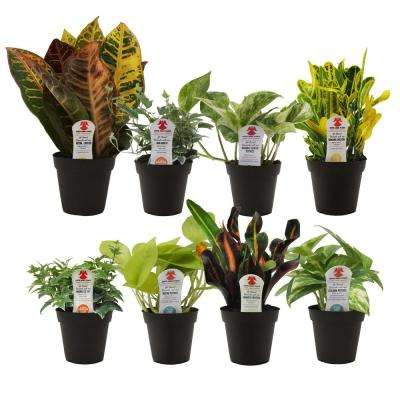 Exotic Angel Grower's Choice in 3.8 in. Grower Pot Assortment (8-Pack)