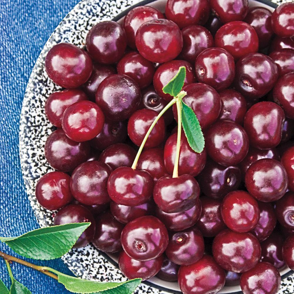 4 in. Pot Carmine Jewel Dwarf Cherry (Prunus), Live Deciduous Plant, Dwarf Fruit Tree (1-Pack)
