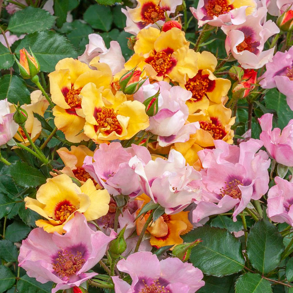 Spring Hill Nurseries In Your Eyes Shrub Rose, Live Bareroot Plant,  Multi,Color Pastel Color Flowers (1,Pack)