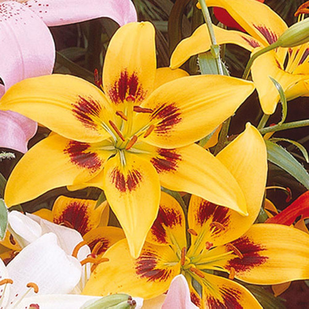 Van bourgondien asiatic lily yellow county bulbs 25 pack 87942 van bourgondien asiatic lily yellow county bulbs 25 pack izmirmasajfo