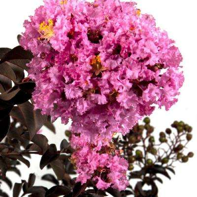 7 Gal. Delta Eclipse Crapemyrtle, Live Deciduous Shrub/Tree, Burgundy Foliage, White Blooming