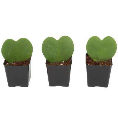 Live Hoya Heart, Hoya Kerrii, Plant in Grower's Pot (3-Pack)