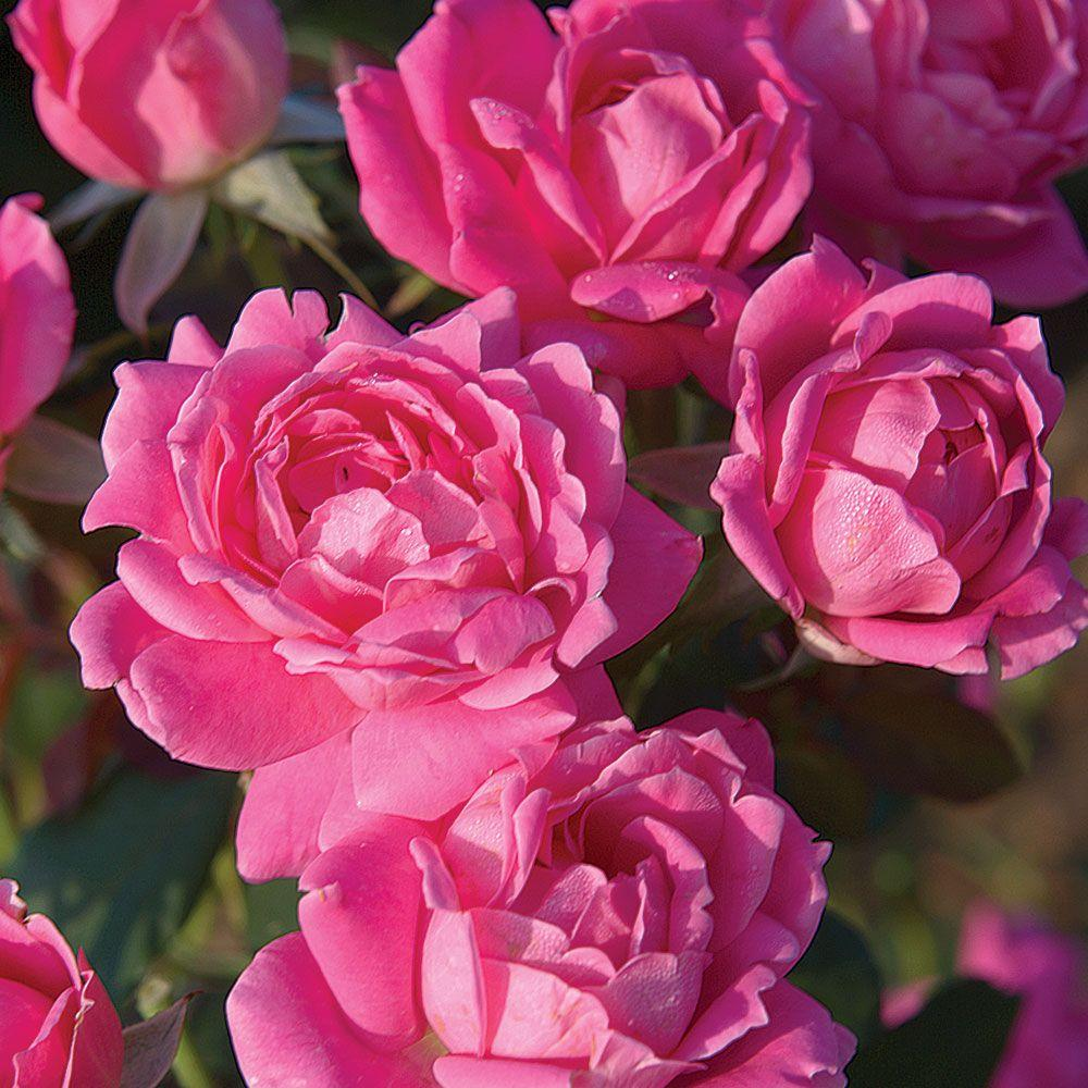 Knock Out Rose 3 Gal Pink Double Live Blooming Shrub