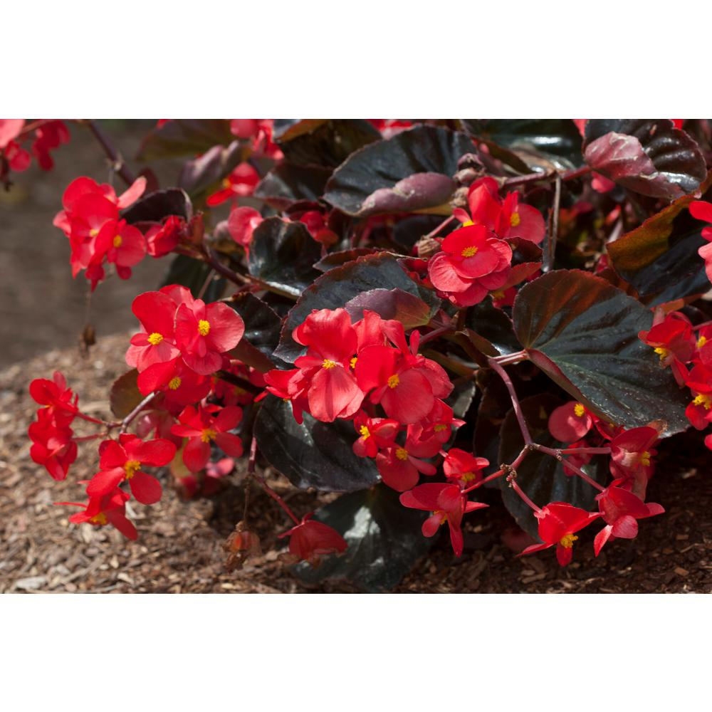 Costa Farms 1 Pt Begonia Scarlet Flowers In Grower Pot 6 Pack