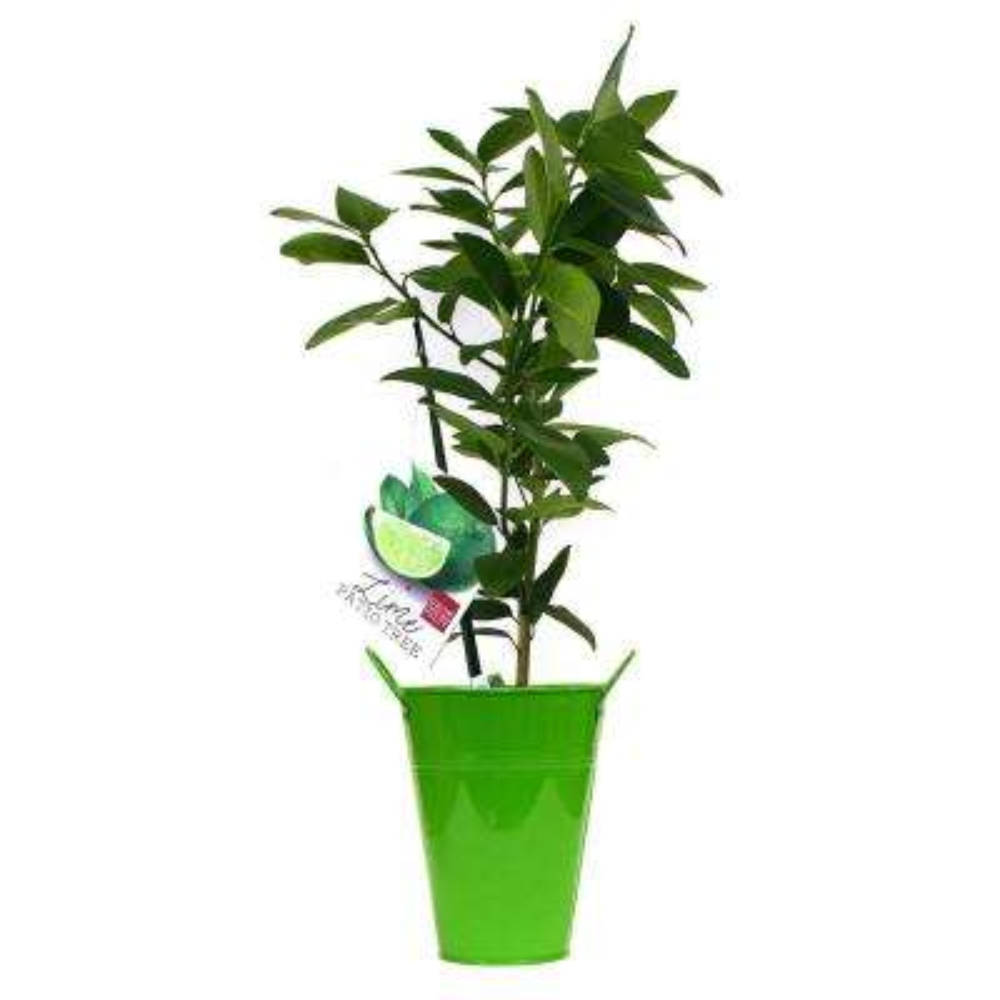 Persian Lime Citrus Tree  In Decorative Patio Planter