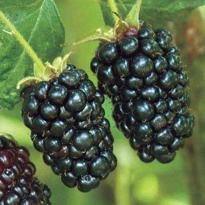 4 in. Pot Freedom Prime-Ark Blackberry Rubus, Live Fruiting Potted Plant (1-Pack)