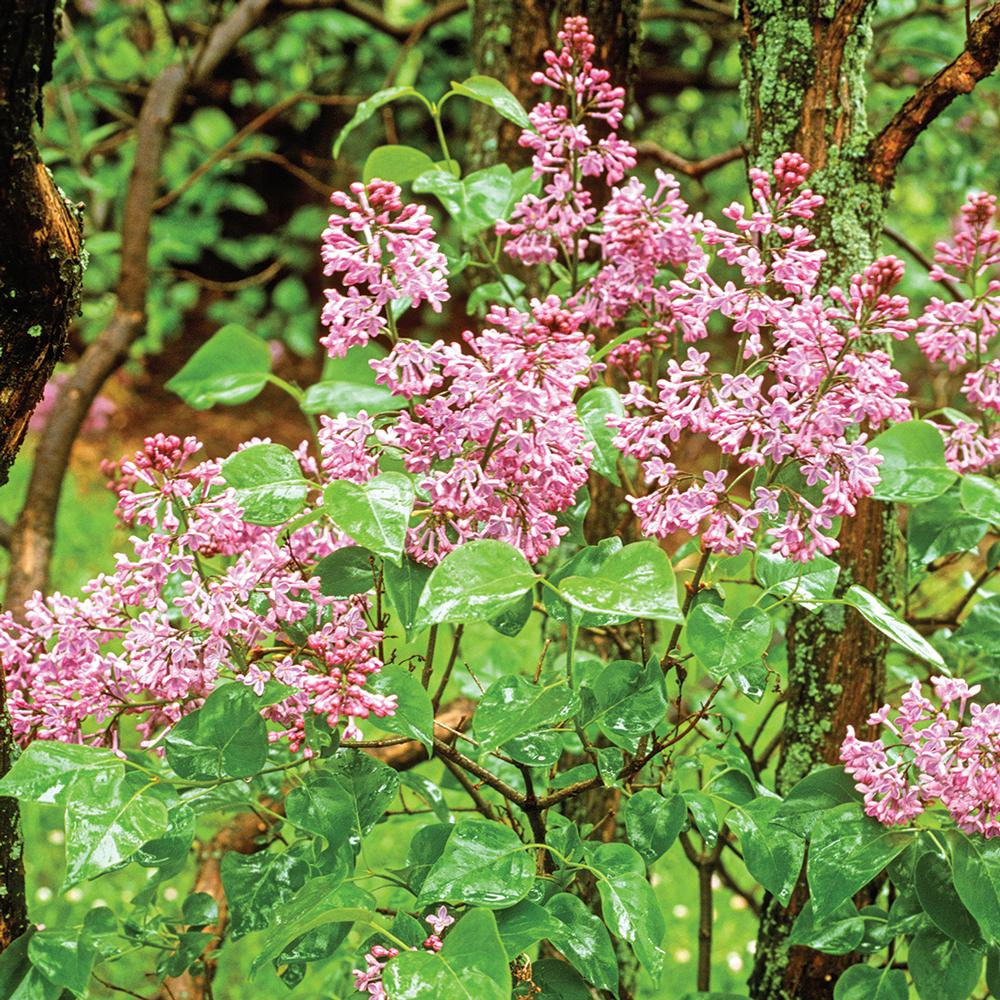 Cottage Gardens 3 Gal. Nocturne Lilac Shrub With Purple