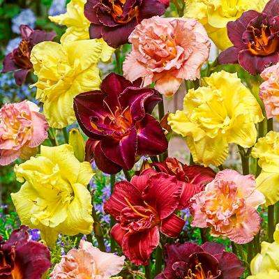Double Daylily Mixture (3-Pack)