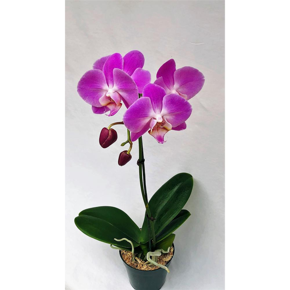 4 In Phalaenopsis Orchid In Grower Pot Phal4bloom The Home Depot