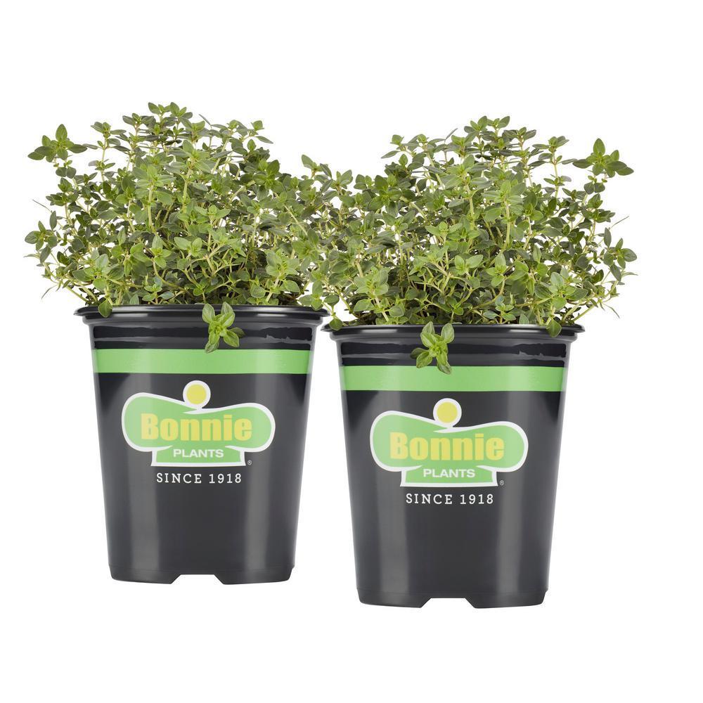 19.3 oz. Lemon Thyme (2-Pack Live Plants)
