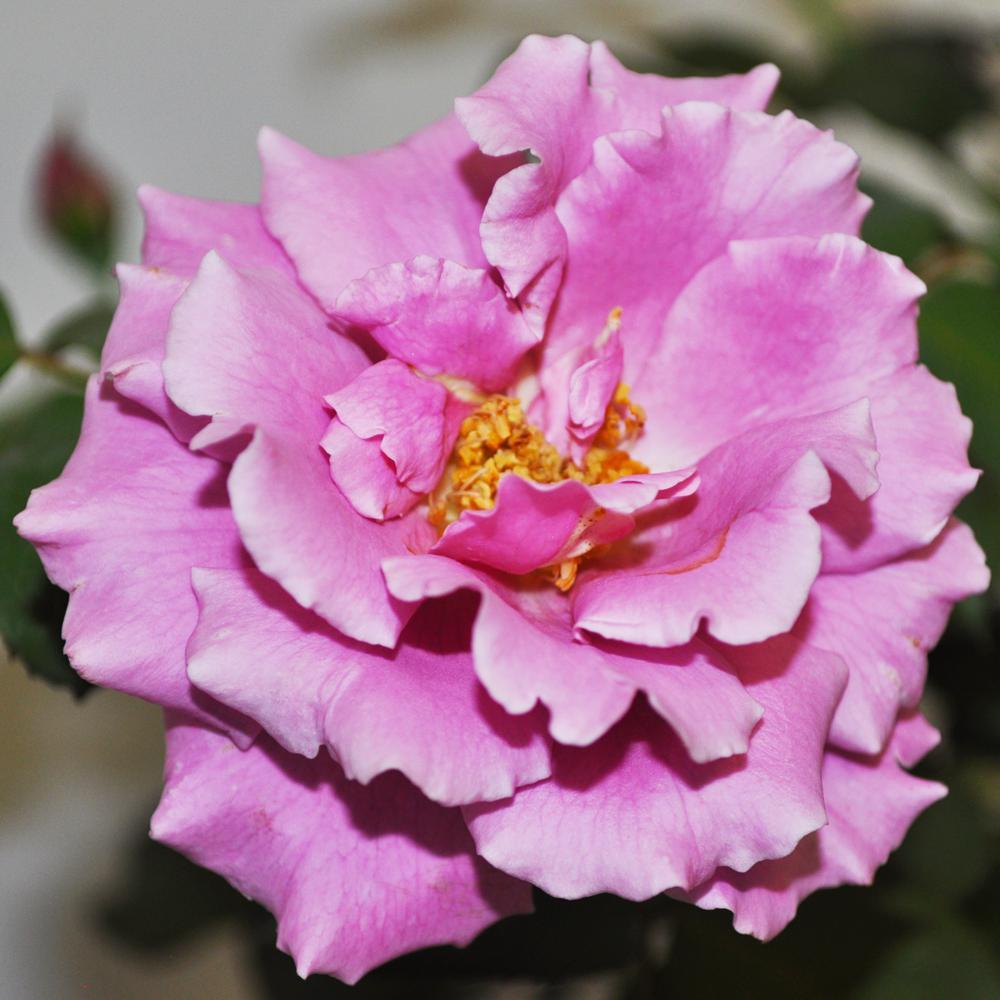 FRAGRANT Lavender Angel Face Rose