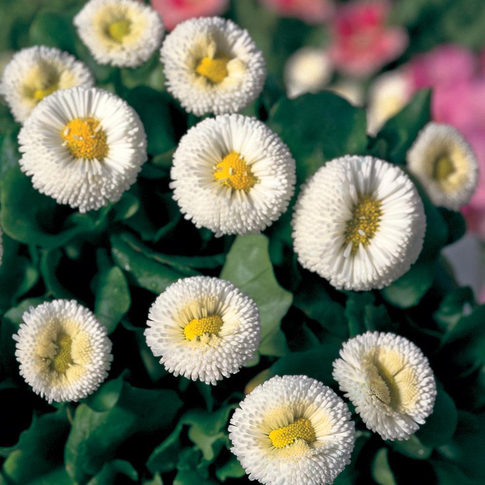 1.38-Pint White Common Daisy Plant