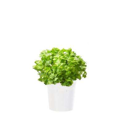 Parsley Refill (3-Pack) for Smart Herb Garden