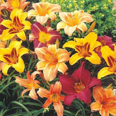 Breeder's Choice Daylily (Hemerocallis) Mixture Live Bareroot Perennial Plants Multi-Colored Flowers (7-Pack)