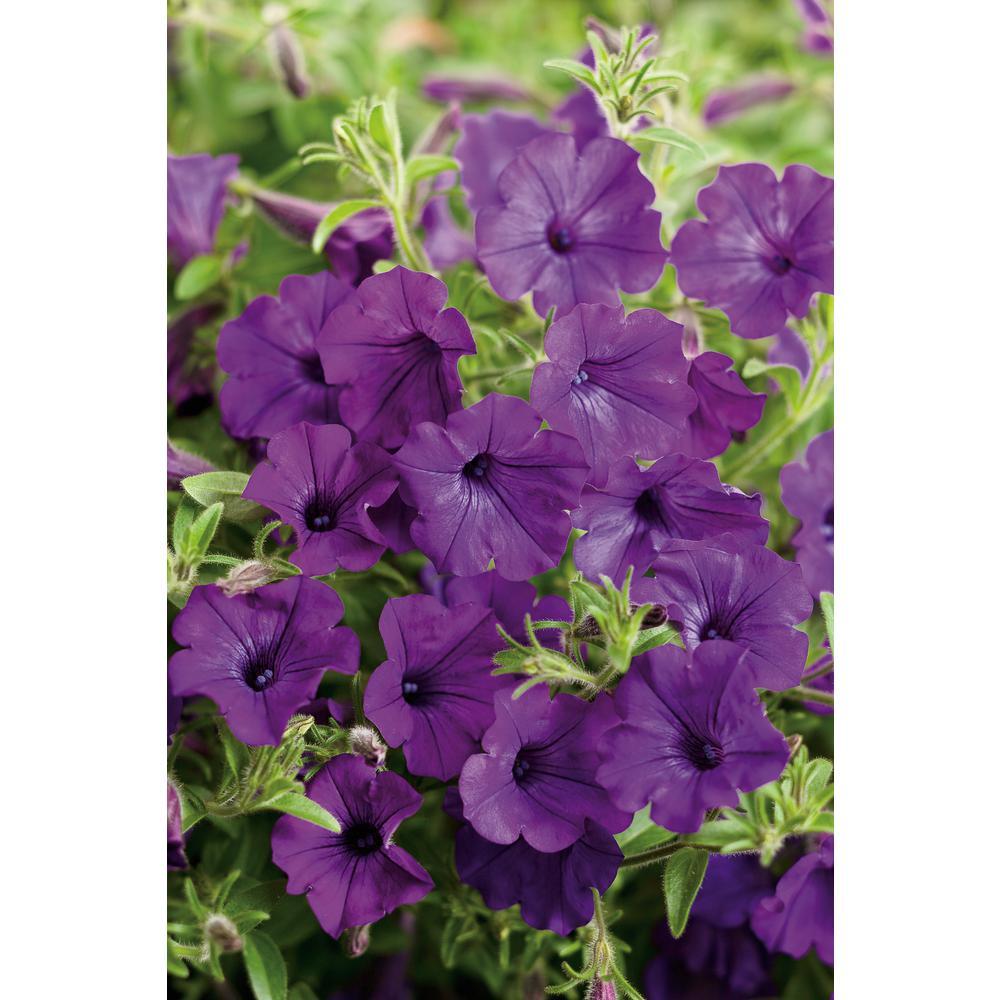 Supertunia Indigo Charm (Petunia) Live Plant, Purple Flowers, 4.25 in. Grande, 4-pack