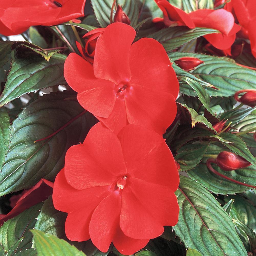 1 Qt. SunPatiens Red Impatiens Plant