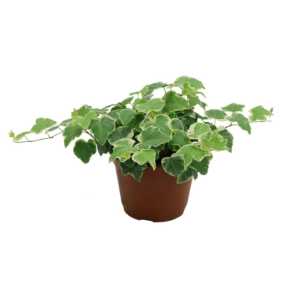 Delray Plants Ivy Plant in 6 in. Pot
