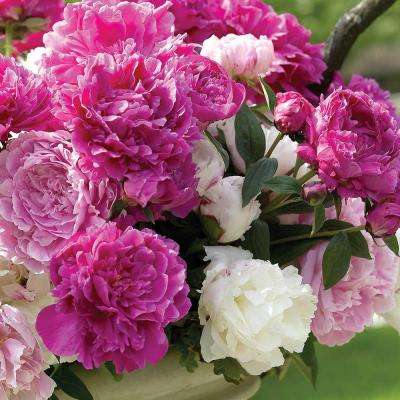 2 Eye to 3 Eye Peony Collection (9-Pack)