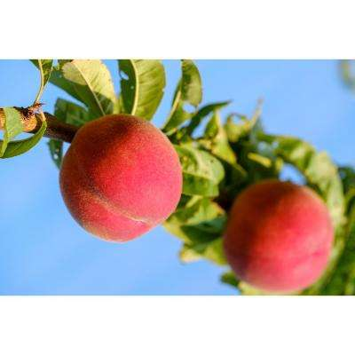 Red Gold Nectarine Tree