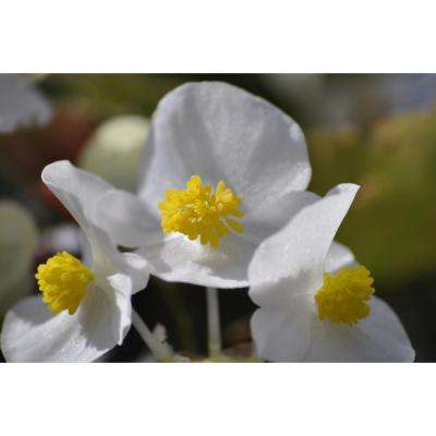1 Pt. White Begonia Plant in Grower Pot (6-Pack)