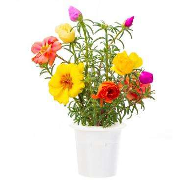 Moss Rose Refill (3-Pack) for Smart Herb Garden