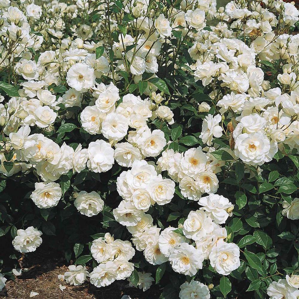 Iceberg Floribunda Tree Rose Live Tree Form Bareroot Plant with White Color Flowers (1-Pack)