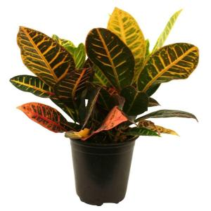Croton Petra in 6 in. Pot