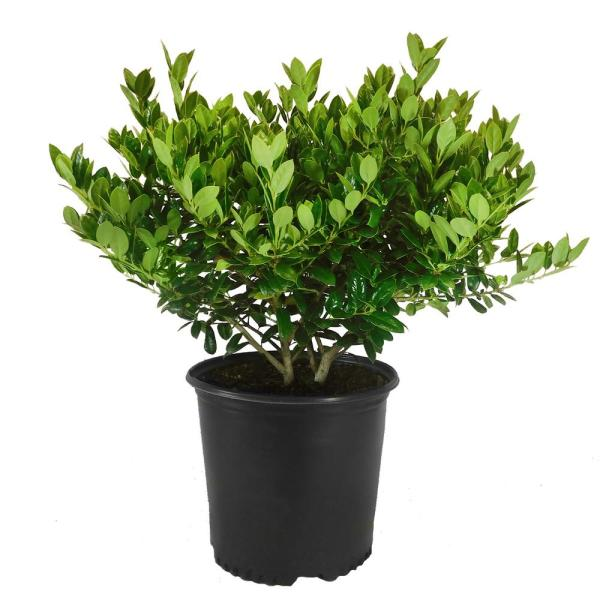 7 Gal. Dwarf Burford Holly Shrub with Dark Green Foliage