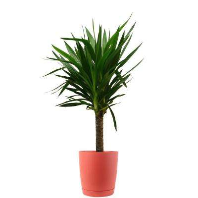 Yucca Cane in 8.75 in. Red Decor Pot