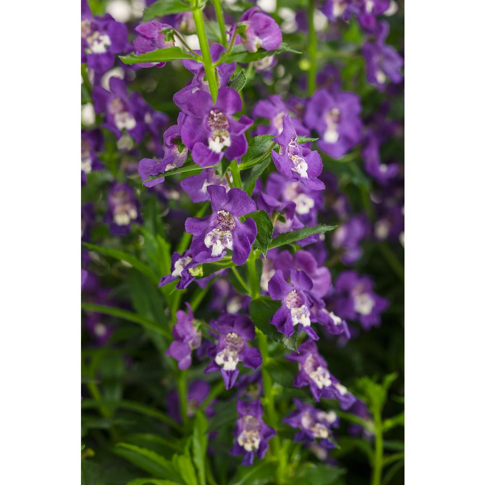 Proven Winners Angelface Super Blue Summer Snapdragon Angelonia