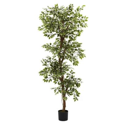 6 ft. Variegated Ficus Tree