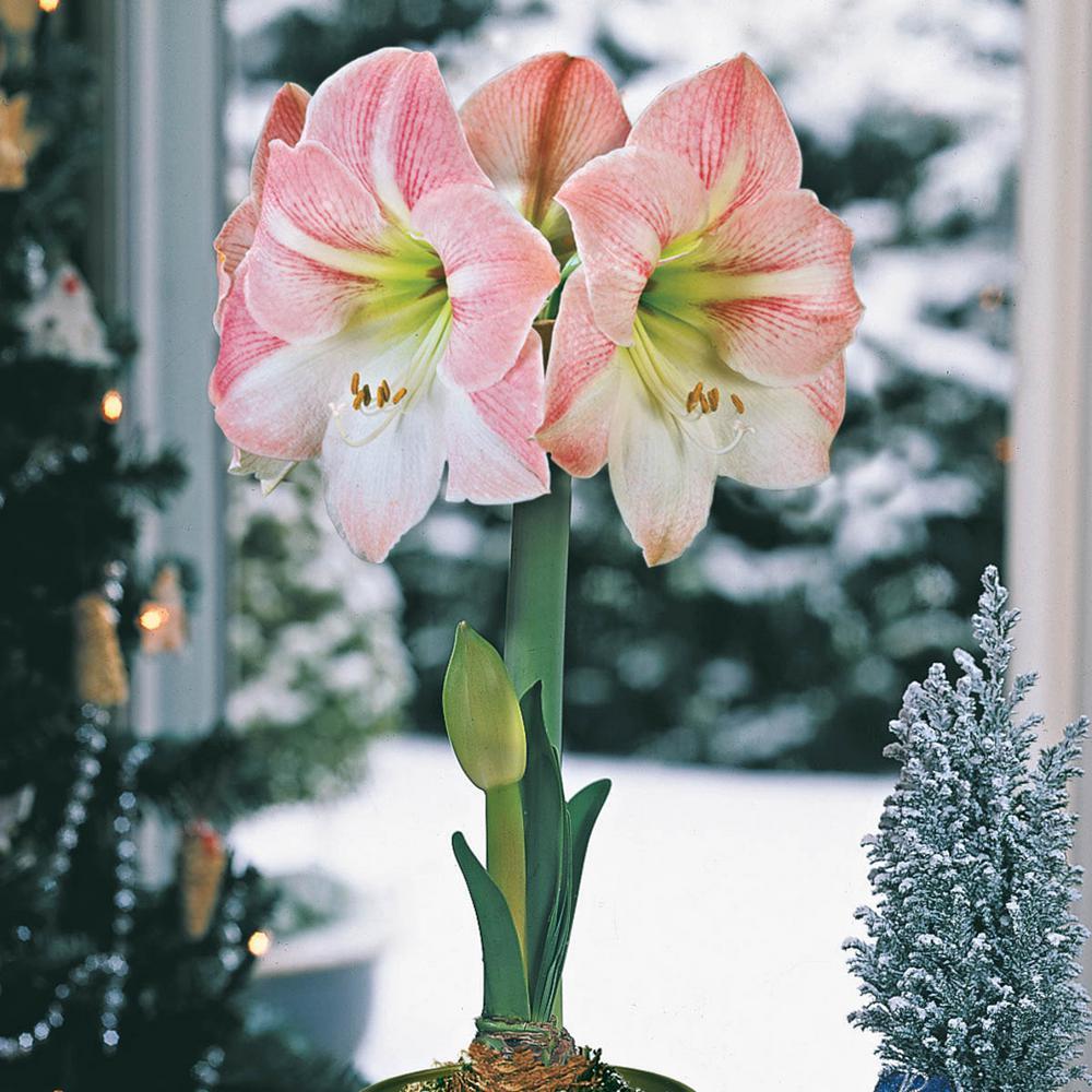 Apple Blossom Galaxy Amaryllis (Hippeastrum) Bulbs (3-Pack)