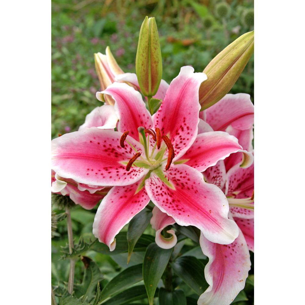 Lily flower bulbs garden plants flowers the home depot stargazer oriental lily 3 pack izmirmasajfo