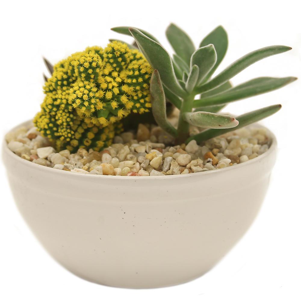 desert gems cacti home depot